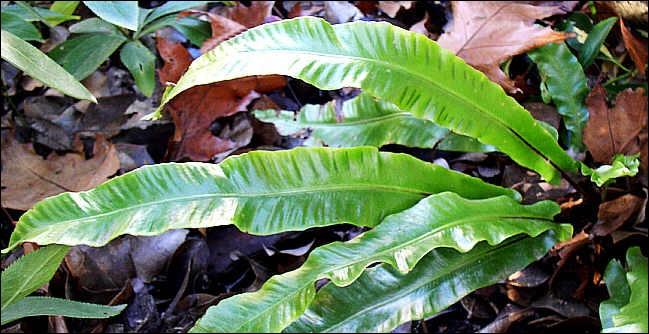 Belle plante surnommée langue de belle-mère.