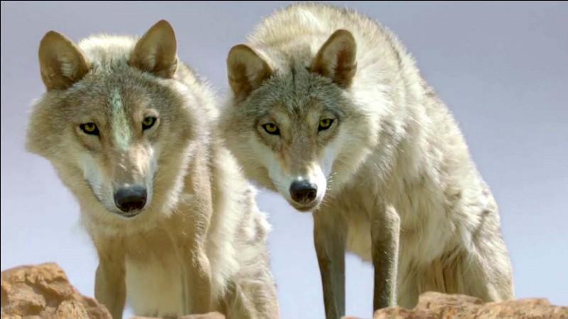 Là-bas, il capture alors un louveteau pour l'apprivoiser. Alors qu'une relation se développe entre lui et l'animal, les loups sont menacés par un officier du gouvernement qui décide par tous les moyens d'éliminer les loups de la région.