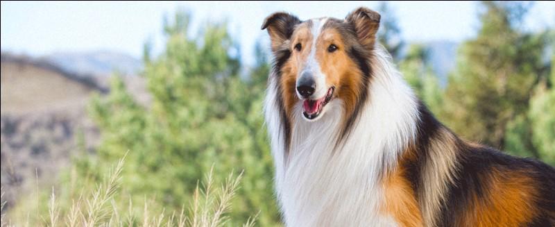 Dans ces films, la chienne colley est souvent une bergère de moutons. Il existe des films, des séries et des livres !