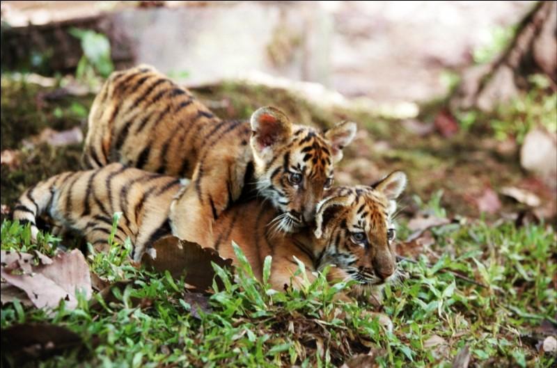 Dans ce film, deux tigres sont capturés et feront tout pour retrouver leur mère.