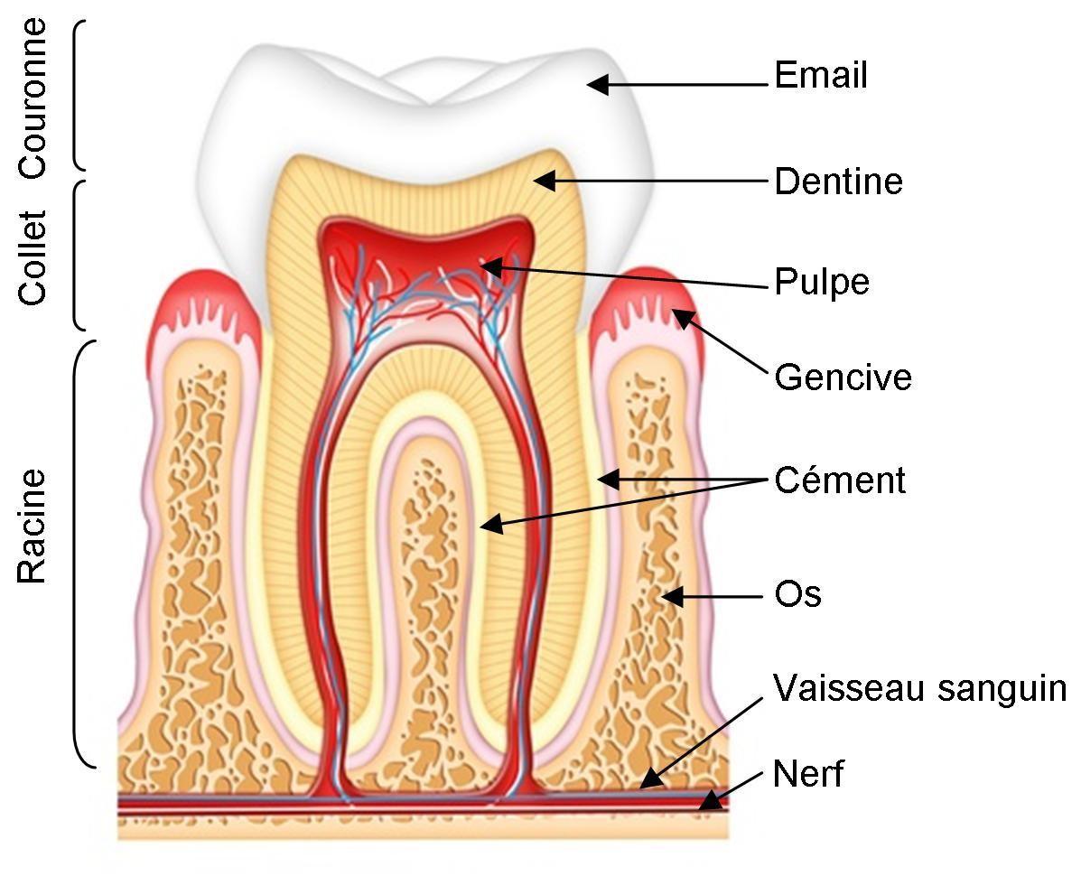 Les dents et les dentistes