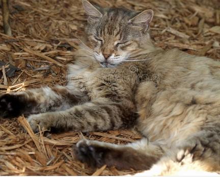 Autour du chat - Le chaviez-vous ? (9)