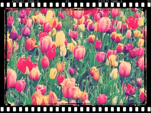 En 1637, combien le bulbe d'un tulipe valait-il par rapport au salaire d'un ouvrier ?