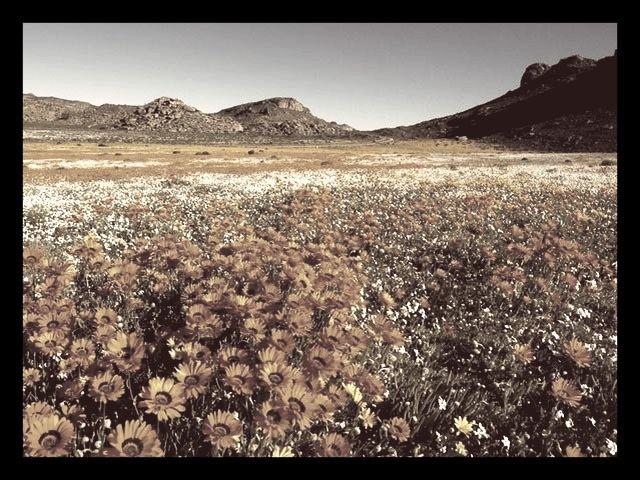 Durant quelle saison le désert de Namaqualand, en Afrique du Sud, se couvre-t-il de milliers de fleurs ?