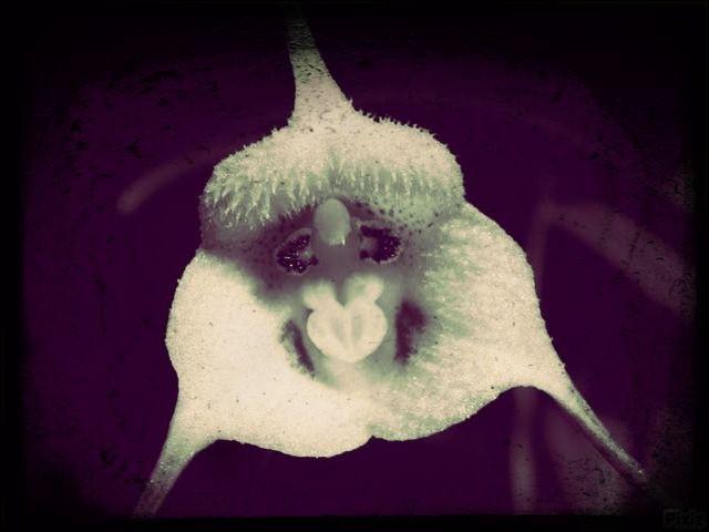 Dans les forêts du Sud de l'Amérique, on retrouve une orchidée qui a pour nom...