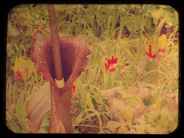 La fleur de l'arum titan dégage une forte odeur de viande pourrie.