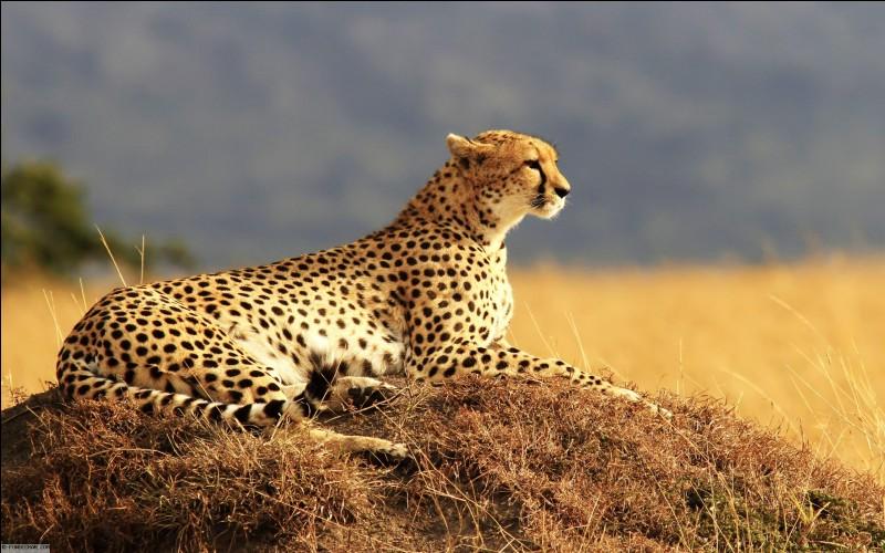 Le guépard se différencie des autres félins car :