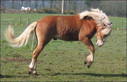 Ce poney est-il un Shetland ?