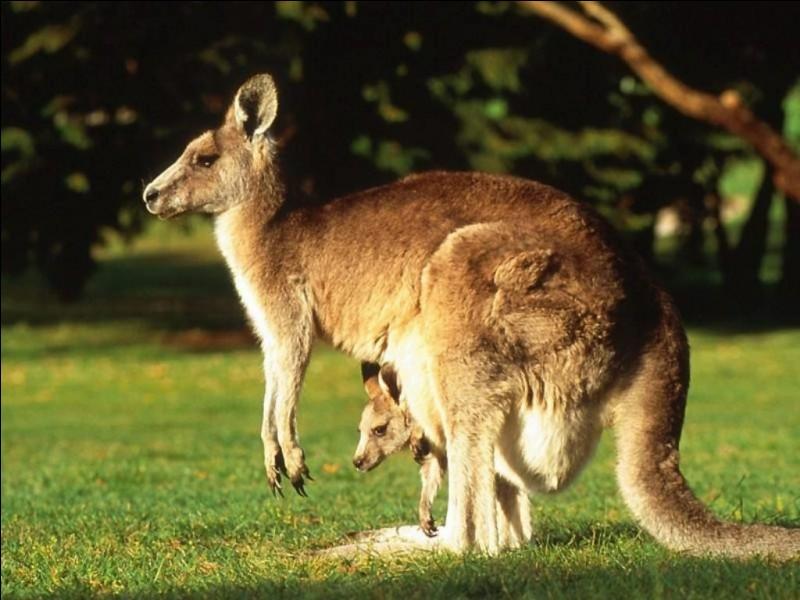 """K - Le """"kangourou"""" est le plus gros marsupial au monde."""