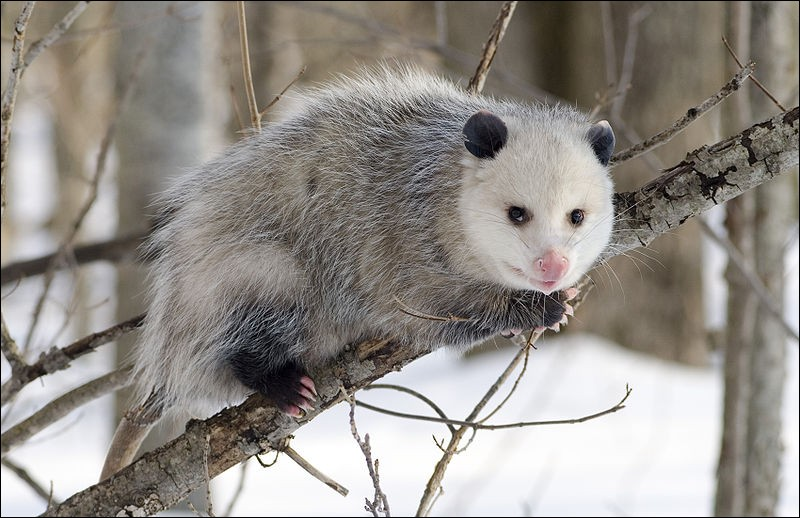 """O - Ce petit mammifère de la famille des marsupiaux, un """"opossum"""", a complètement disparu."""