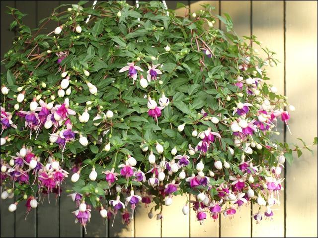 """F - La bonne orthographe du nom de cette fleur est """"fuschia""""."""
