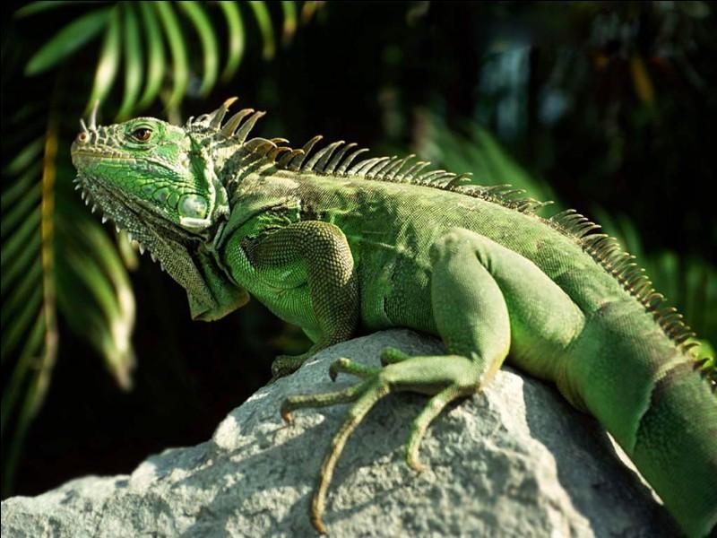 """I - Cet animal, """"l'iguane"""" fait partie de la famille des reptiles."""