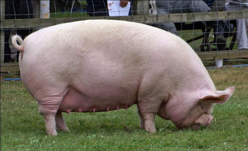 Quel est le nom du bébé du porc ?
