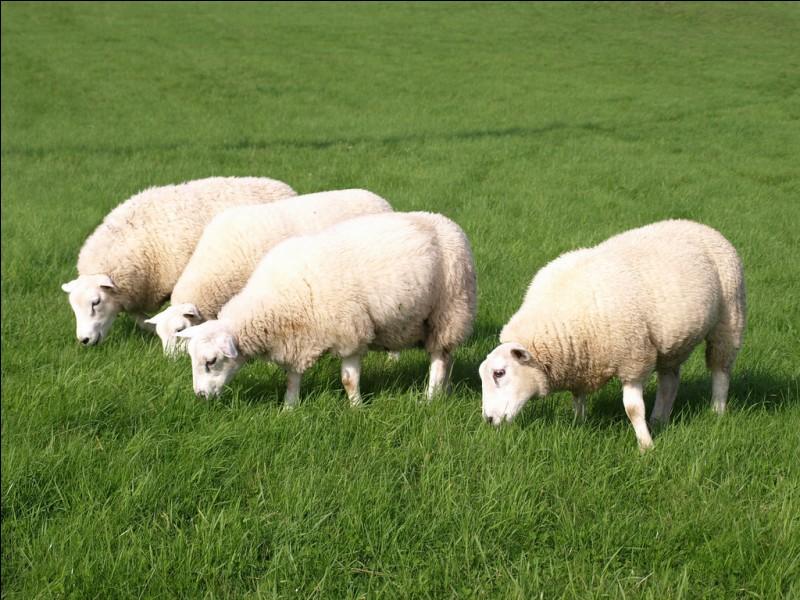 Quel est le nom du bébé du mouton ?