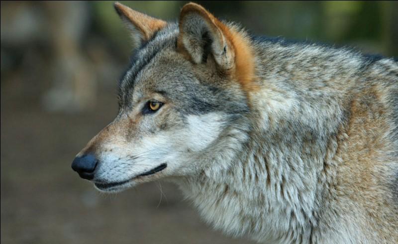 Quel est le nom du bébé du loup ?