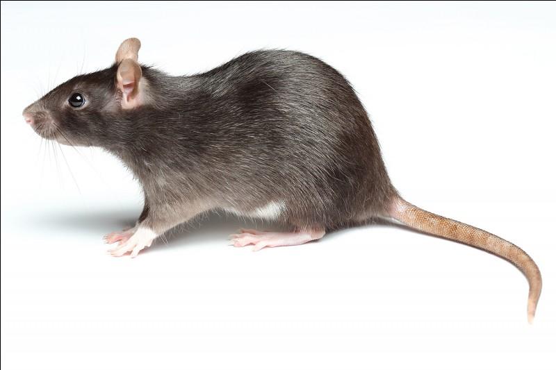 Quel est le nom du bébé du rat ?