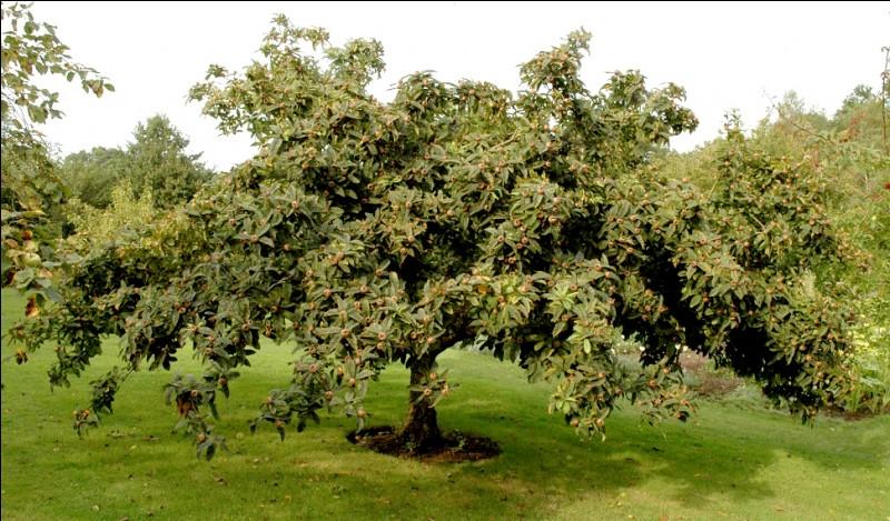 Quel est ce fruit, courant autre fois, immangeable, même quand il est mûr, mais qui une fois blet devient sucré et comestible? Mis à part les petits noyaux qui contiennent de l'acide cyanhydrique.