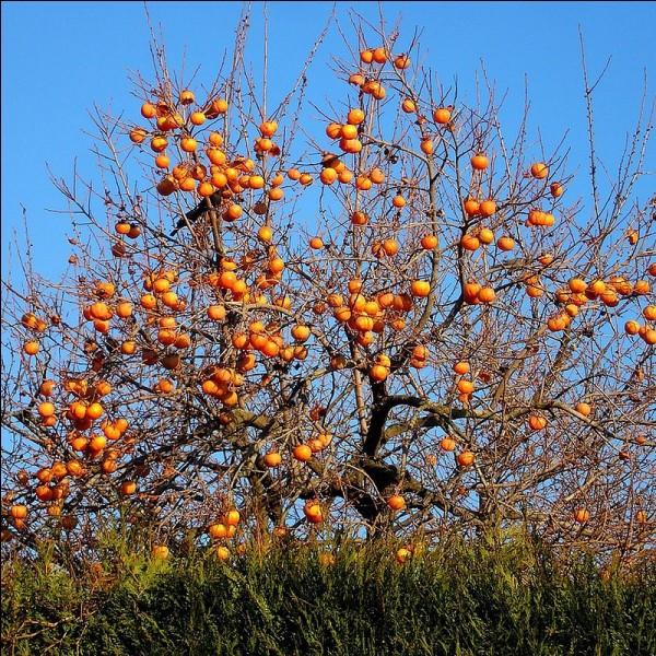 Comment se nomme le fruit, (qui revient en force sur les étals), du plaqueminier?