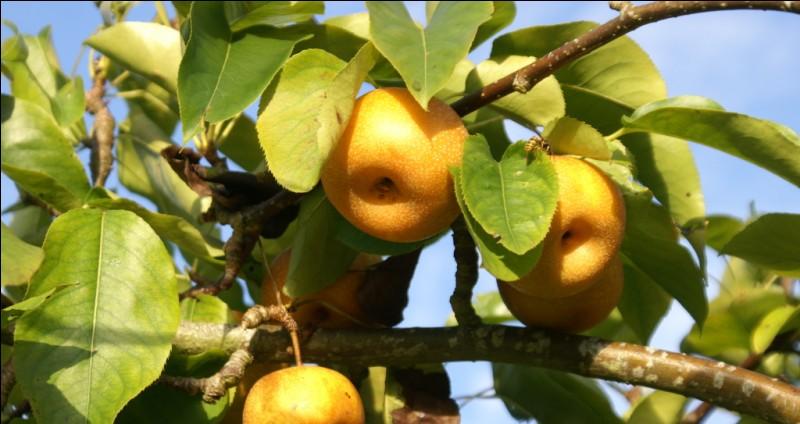 Présent depuis les années 80 sur les étals européens, ce fruit juteux et au goût de poire nous vient du Japon quel est-il?