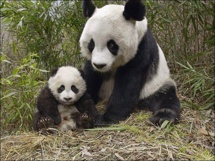 Nous avons beaucoup entendu parler du Zoo de Beauval ces derniers temps, notamment à cause de la naissance de ce petit panda nommé Mini Yuan-Zi au début ; mais notre première dame, Brigitte Macron, lui a donné son vrai nom. Lequel est-ce ?