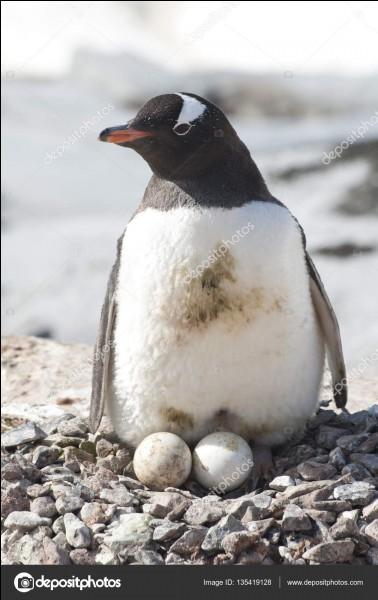 Lorsque la femelle manchot construit son nid, elle a besoin de cailloux, beaucoup de cailloux, et tous les moyens sont bons pour s'en procurer !