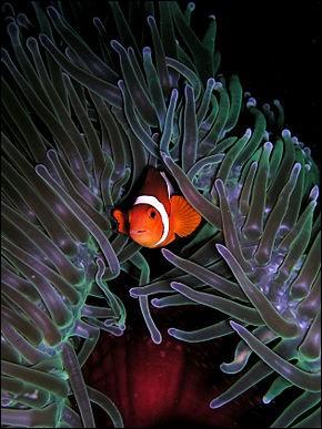 Que sont les anémones de mer ?