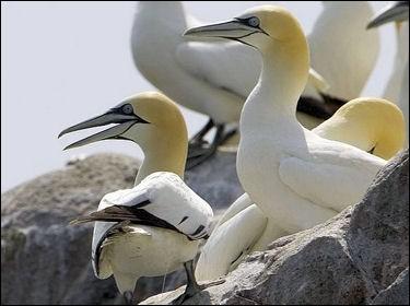 Où les plus grandes colonies de fous de Bassan, magnifiques et gigantesques oiseaux de mer, nichent-elles ?