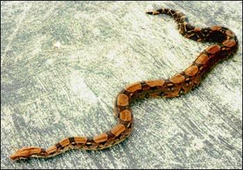 Quelle est la race de ce serpent ?