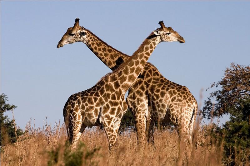 Ces belles girafes, mais sais-tu comment s'appelle la femelle de la girafe ?
