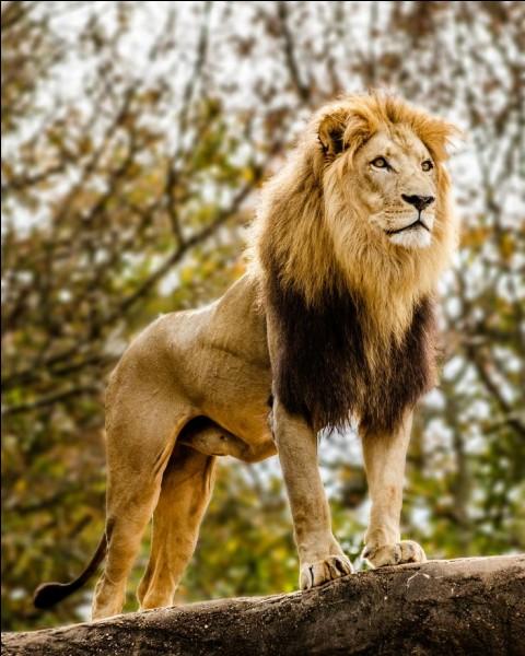Ce joli lion, sais-tu où il vit ?