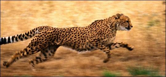 Wow, tu as vu comme il est rapide ! Mais sais-tu à combien de km/h il court ?