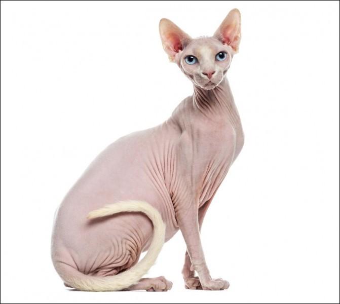 Quelle est la race du chat sur l'image ? En passant, il n'y a pas beaucoup de personnes qui aiment ce chat, mais l'important c'est l'intérieur et pas l'apparence ! : )