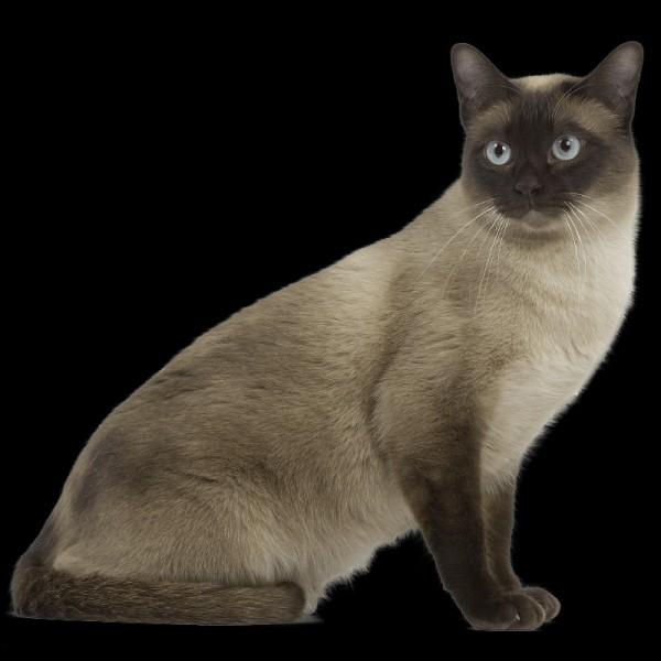 Quelle est la race du chat ci-dessus ?