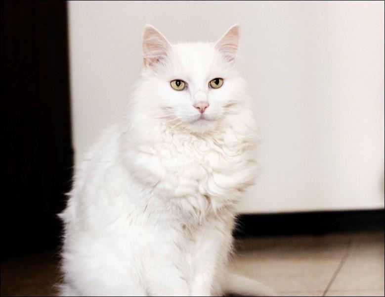 Quelle est la race de cet élégant chat ?