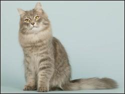 Quelle est la race de ce magnifique chat ?