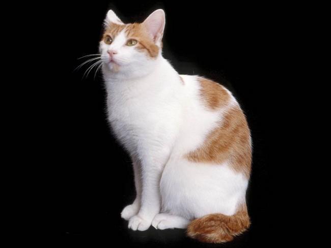 Quelle est la race du chat sur l'image ?
