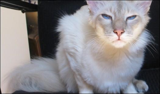 Quelle est la race de ce chat aux yeux bleus ?