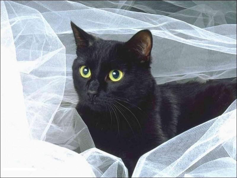 Quelle est la race de ce mignon chat ?