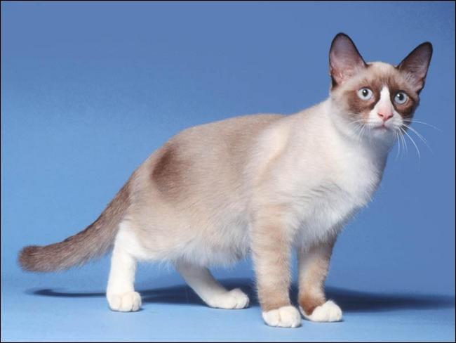 Quelle est la race de ce beau chat ?