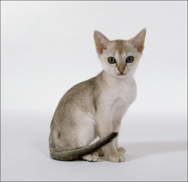 Quelle est la race de ce très mignon petit chat ?