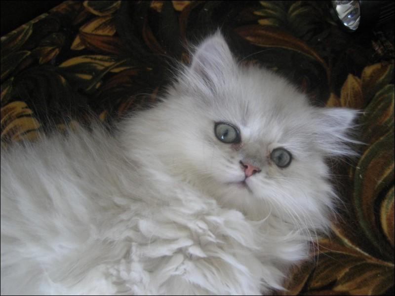 Quelle est la race de ce chat blanc ?