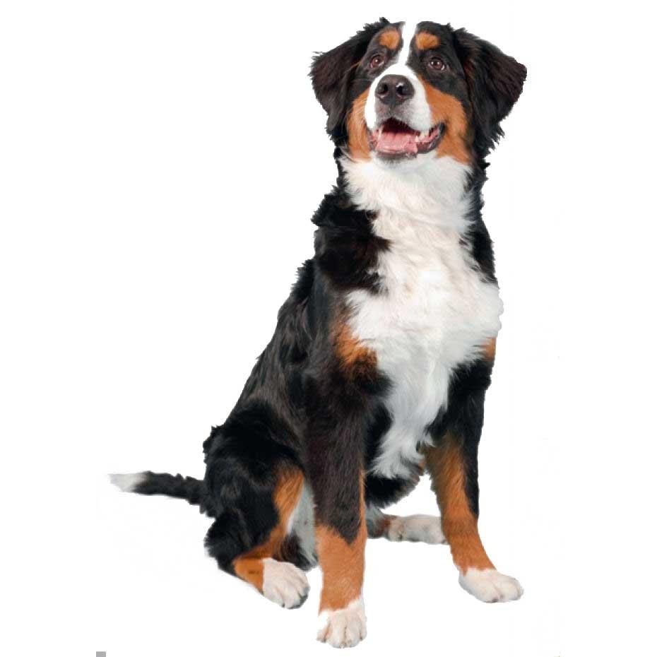 Les race de chiens 2