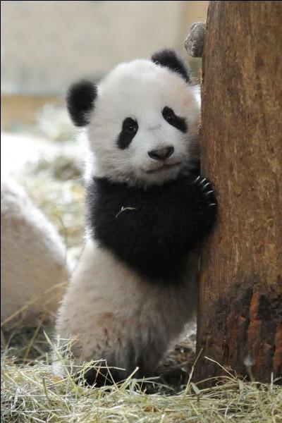 Quel est ce petit animal noir et blanc ?