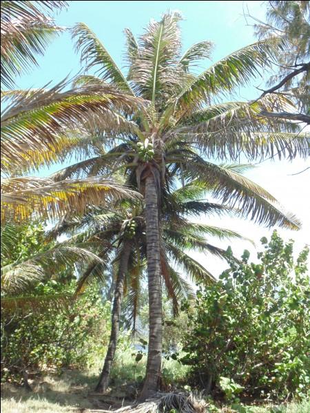 Quel arbre est synonyme des fêtes de fin d'année sur l'île ?