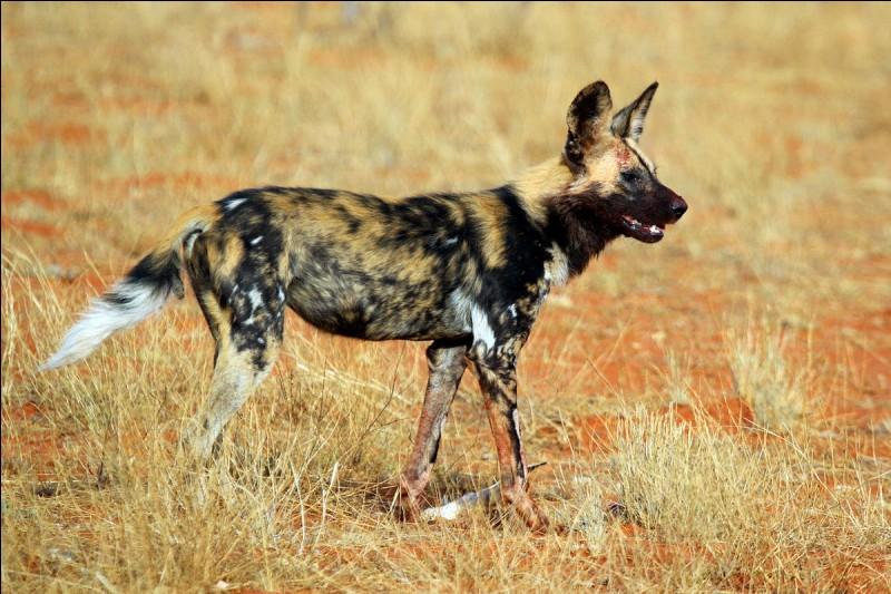 Lorsque cet animal chasse, il peut atteindre une vitesse maximale de ...