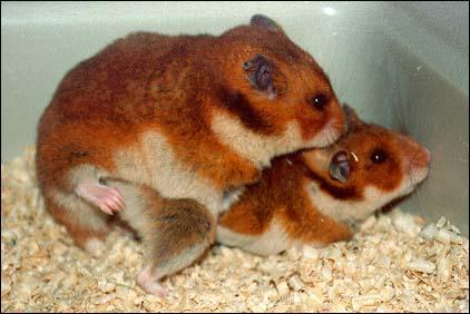 Que font ces hamsters ?