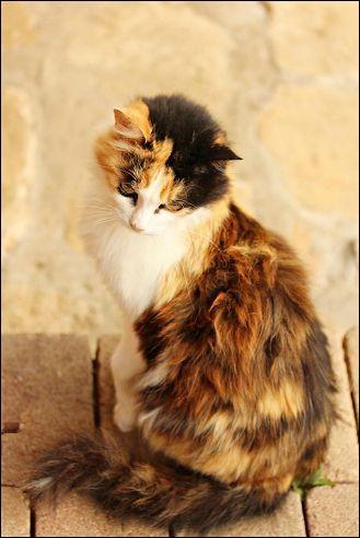 Les chats possédant un pelage tricolore sont (sauf exceptions)...