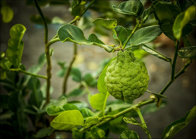 Quel est le nom de cet agrume, très utilisé en parfumerie qui serait issu du croisement d'une orange amère et d'une lime, et dont l'arbre est très cultivé en Calabre ?