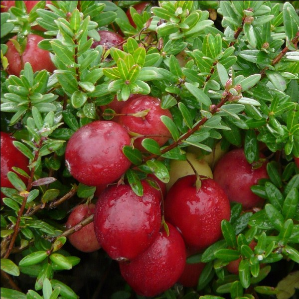 Quel nom porte cette baie rouge souvent appelée cranberry ?