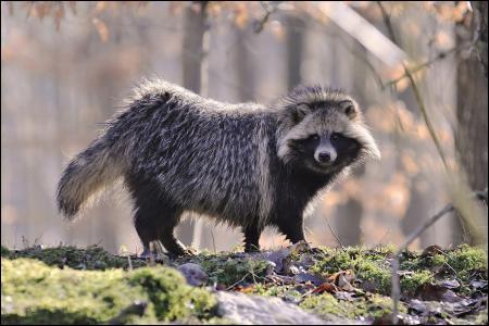 Comment se nomme cet animal omnivore ?